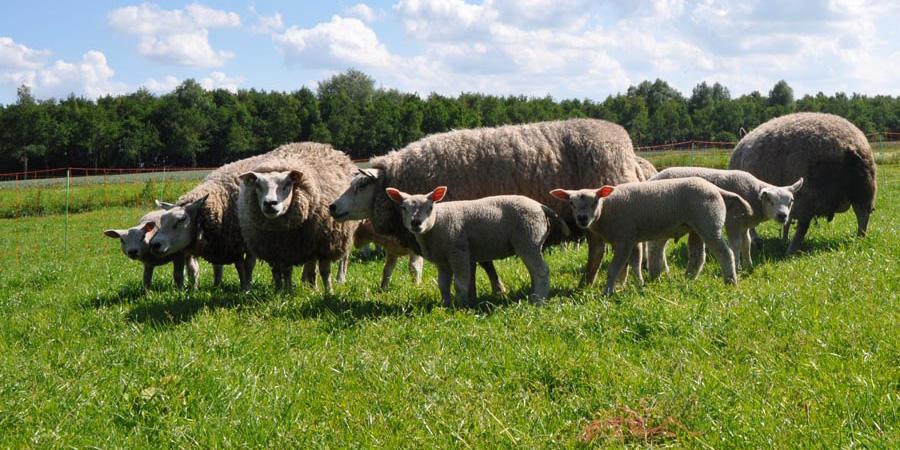 tillfälligt stängsel för får