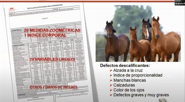 Diskvalificerande defekter: Mankhöjd som avviker från rasstandarden. Avvikelser i proportionsindex. Vita fläckar. Höga strumpor. Ögonfärg. Övriga allvarliga eller mycket allvarliga defekter.