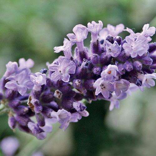 138_lavendel_vera