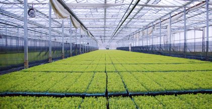 Microplantor i växthus som ska omskolas. Foto: Södra