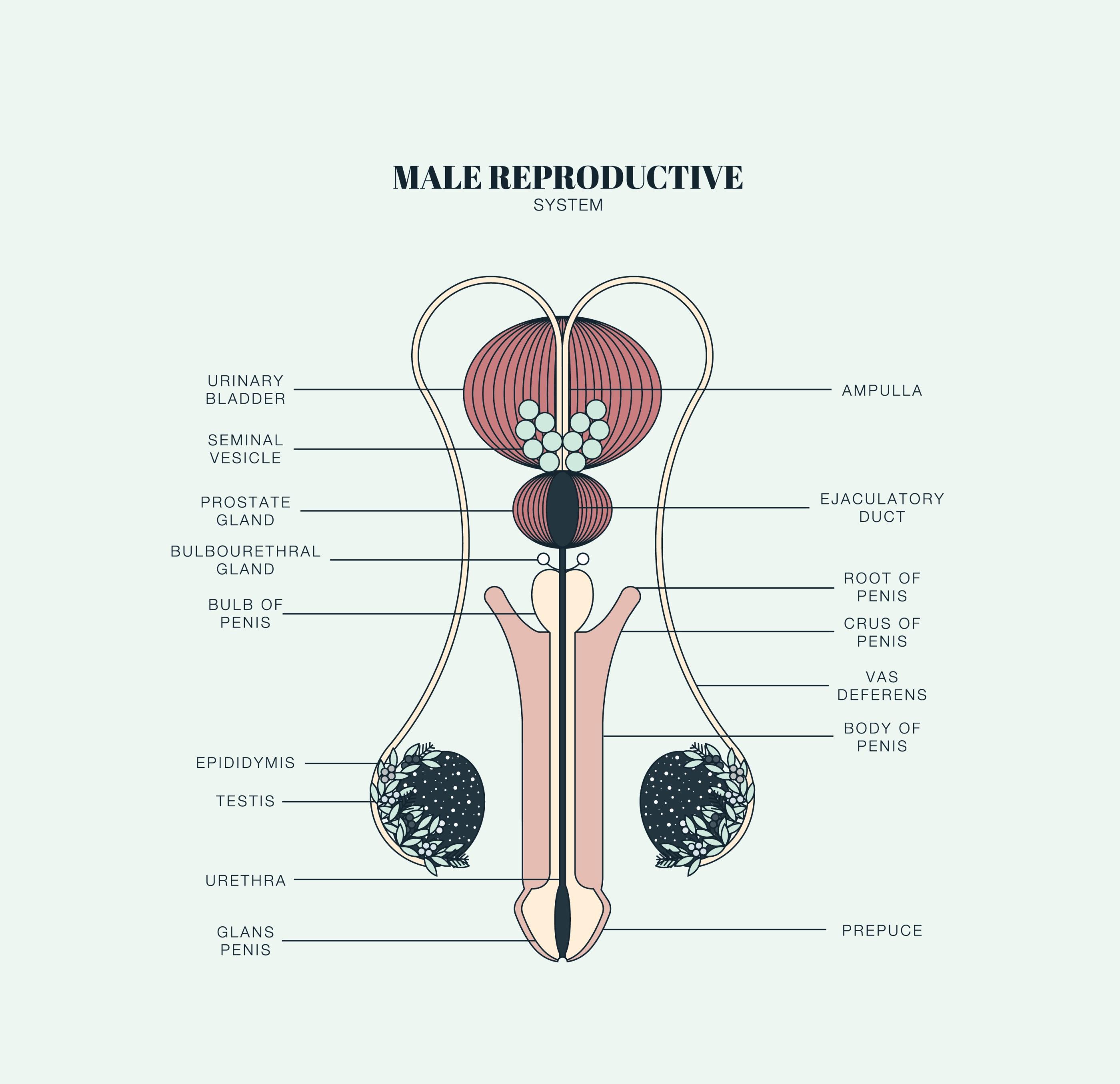 öka fertilitet män