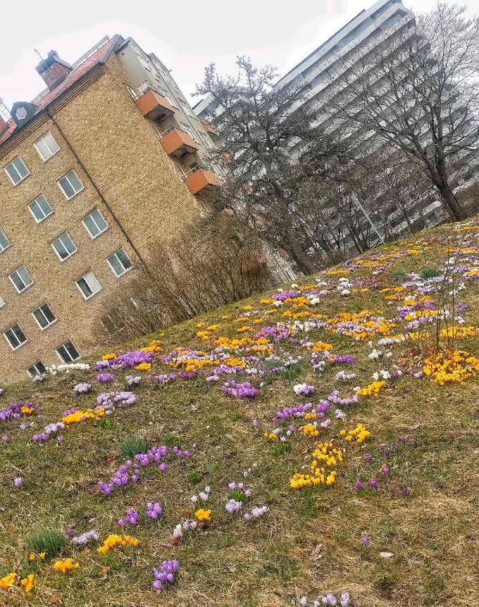 Krokussluttning i Tornparken. Bild ac