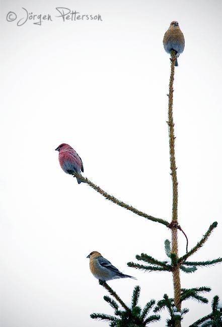 Tallbit, Pine Grosbeak, Pinicola enucleator.