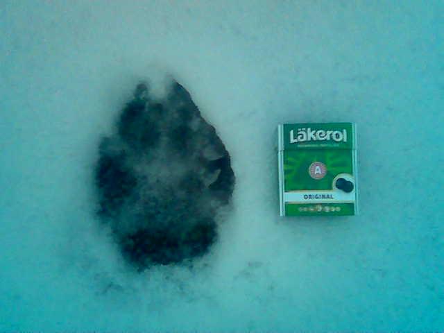 Ett vargpar ser ut att etablera ett revir nära Åsebyn-Tenvik