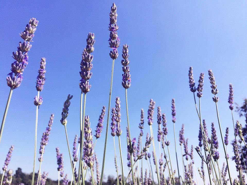 Lavendeldoft