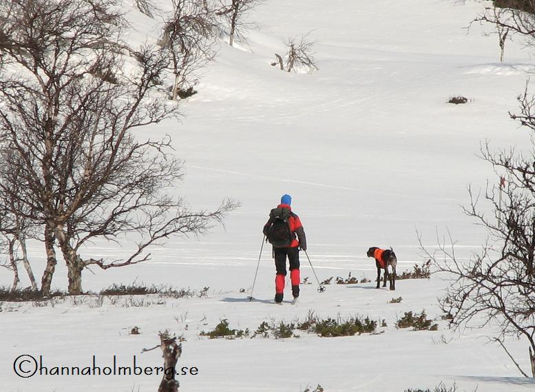 Lynx har hittat fågel på vårprov i Klimpfjäll.
