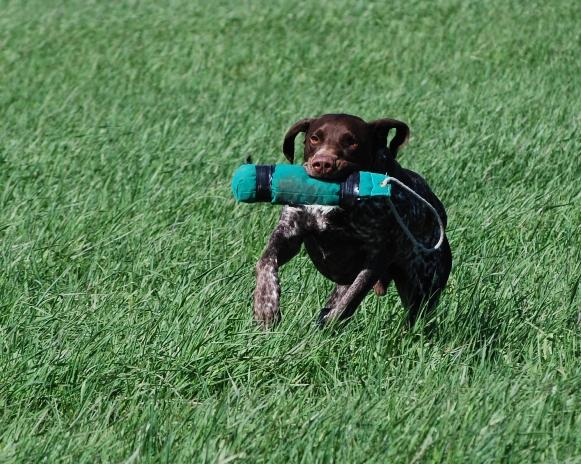 Även tunga apporter ska kunna hämtas med fart och glädje. Freddes Dekker (Zacke) är ett bra exempel på det.