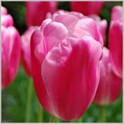 Tulpan: Jumbo Pink, 10 lökar - Jumbo Pink, 10 lökar