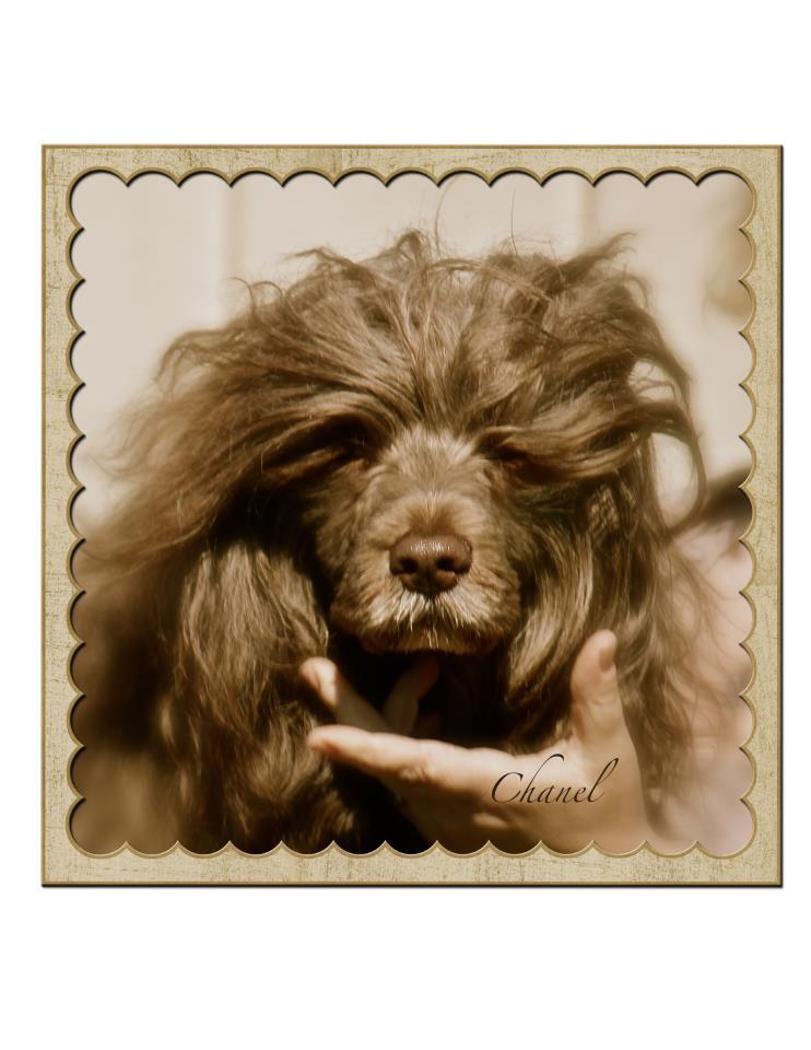 Incas vackra mamma Chanel. Så otrolikt lik min älskade Tosca. Ingen tveckan om att dom två är släkt inte.