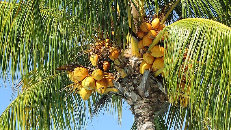 palmenfruechte