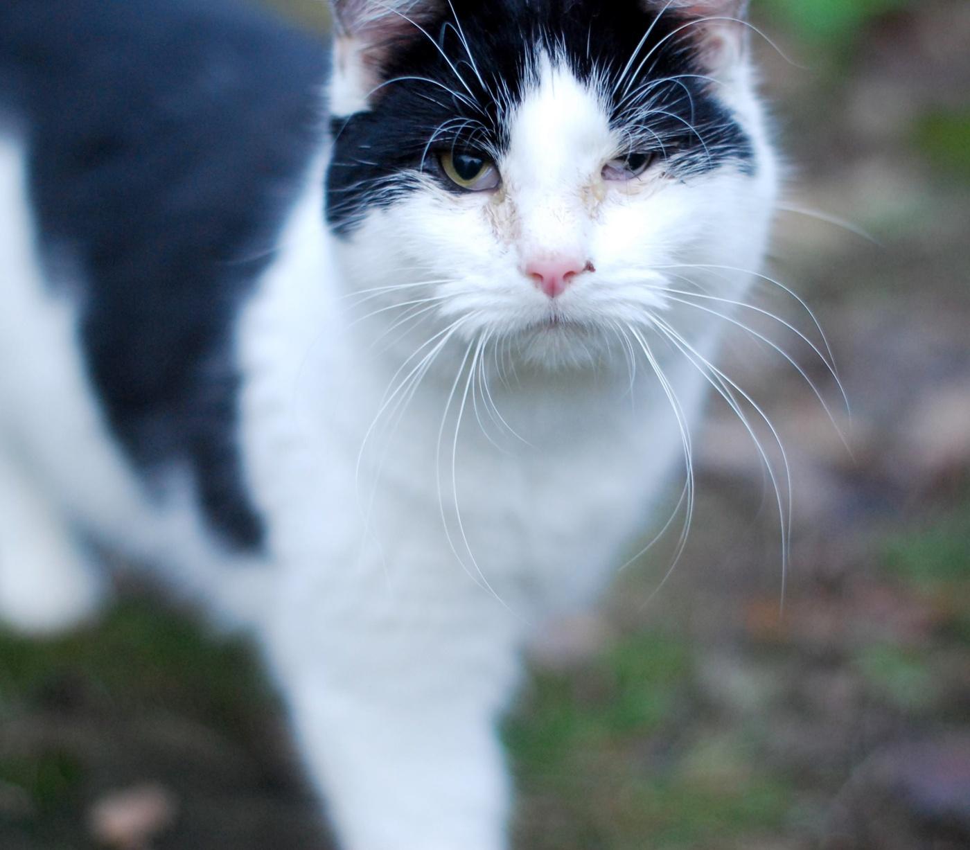 ögoninfektion katt behandling
