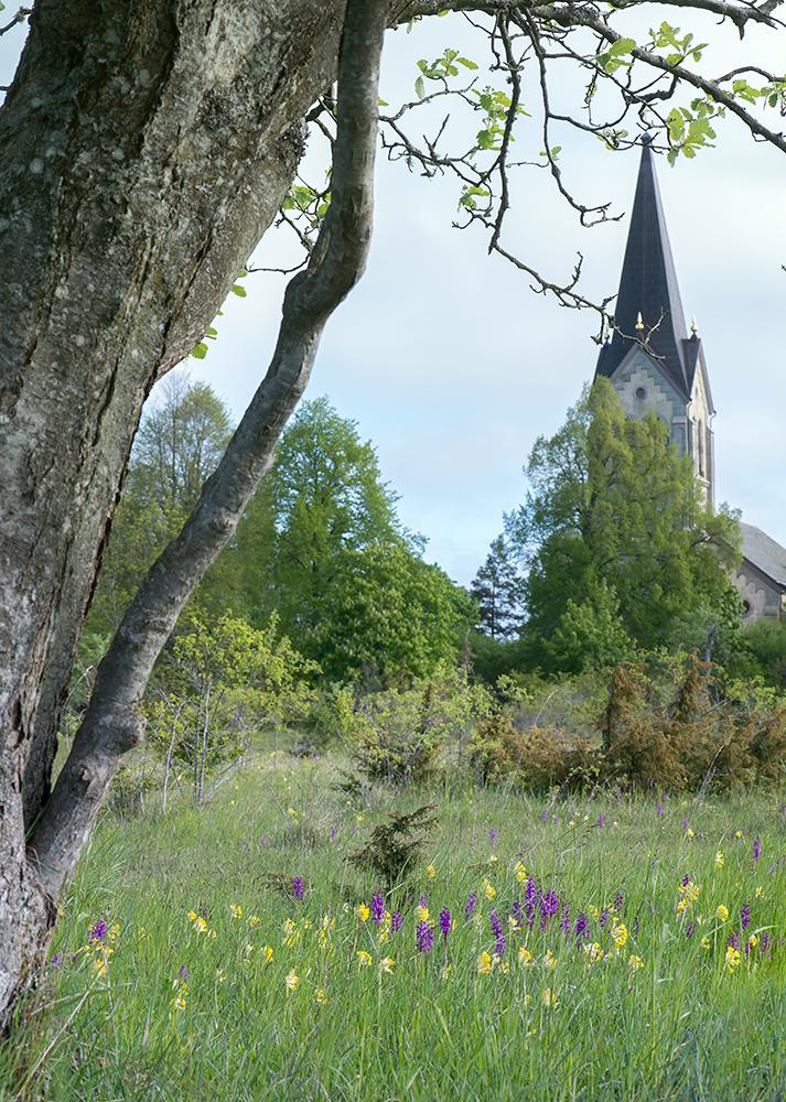 St. Per ( Orchis mascula) och gullvivor, Österplana , Kinnekulle 2015-05-27