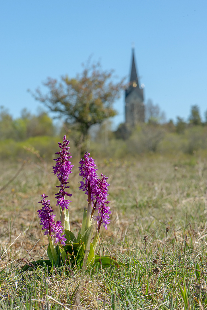 Österplana med Sankt Pers nycklar  (Orchis mascula ssp. mascula)