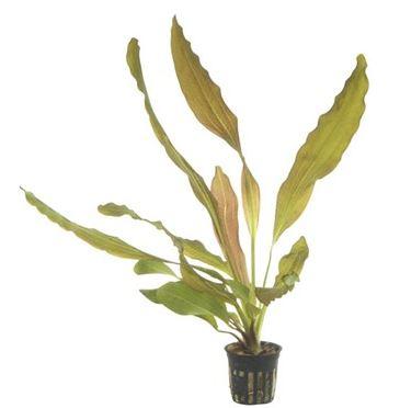 Echinodorus rubin 5