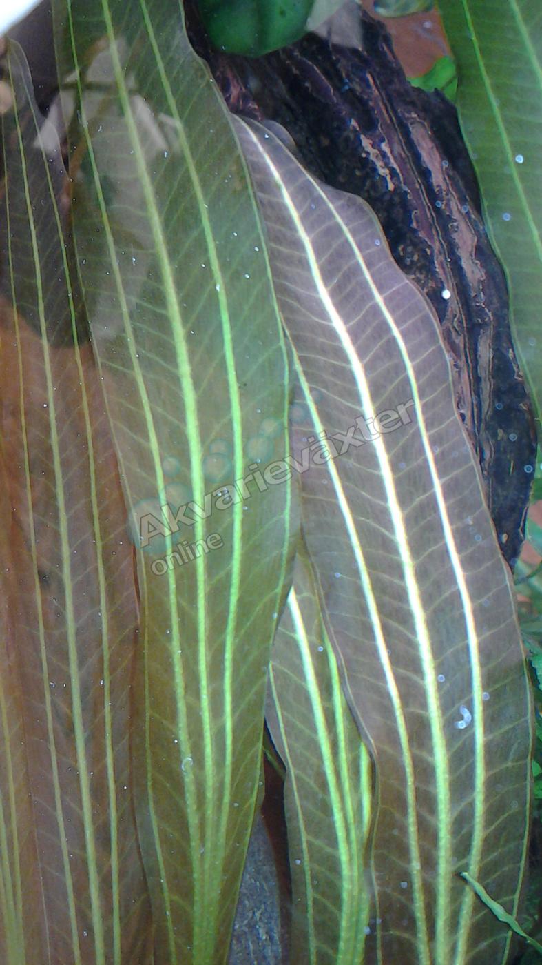 Echinodorus rubin 3