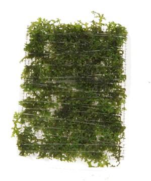 Riccardia chamedrofolia (2)