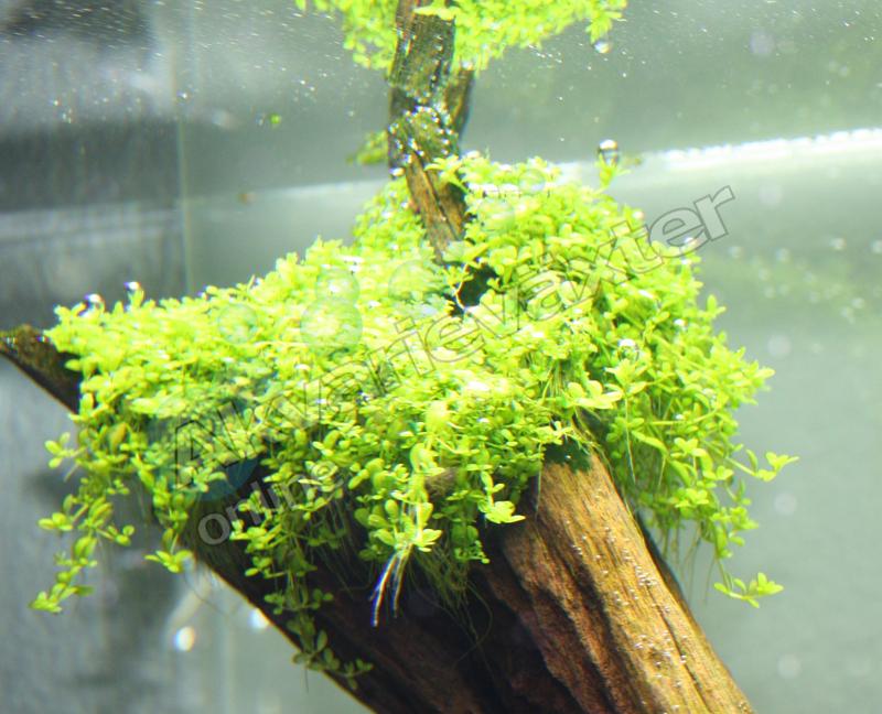 Hemianthus callitricoides cuba3