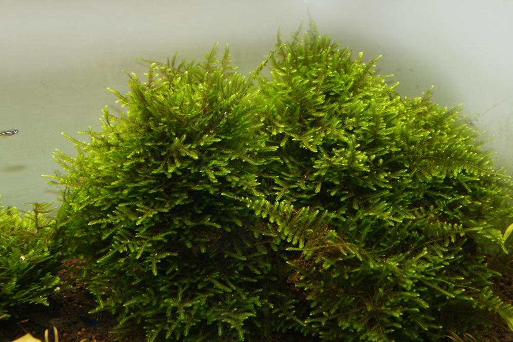 Taiwan moss i akv
