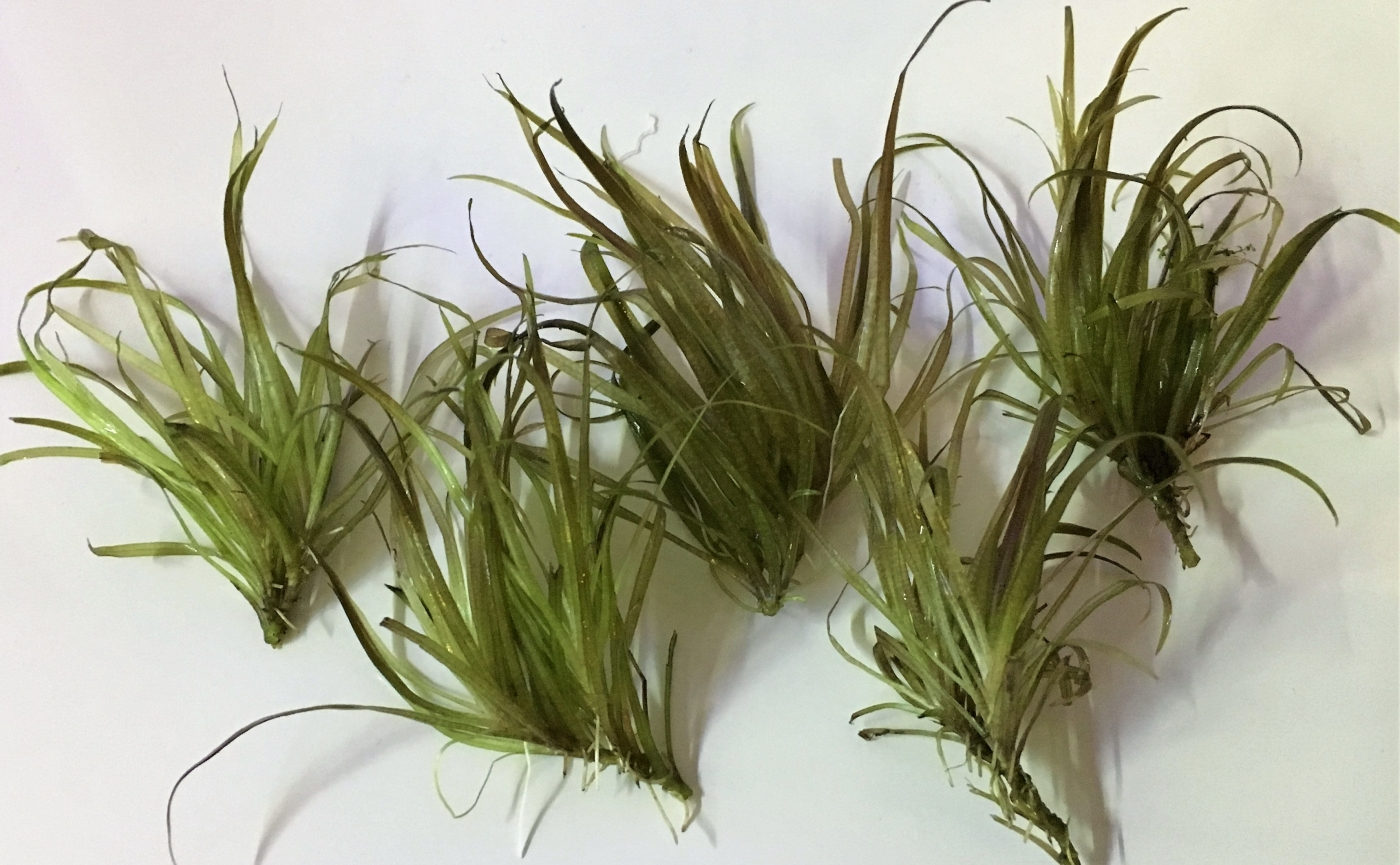 Blyxa japonica skott