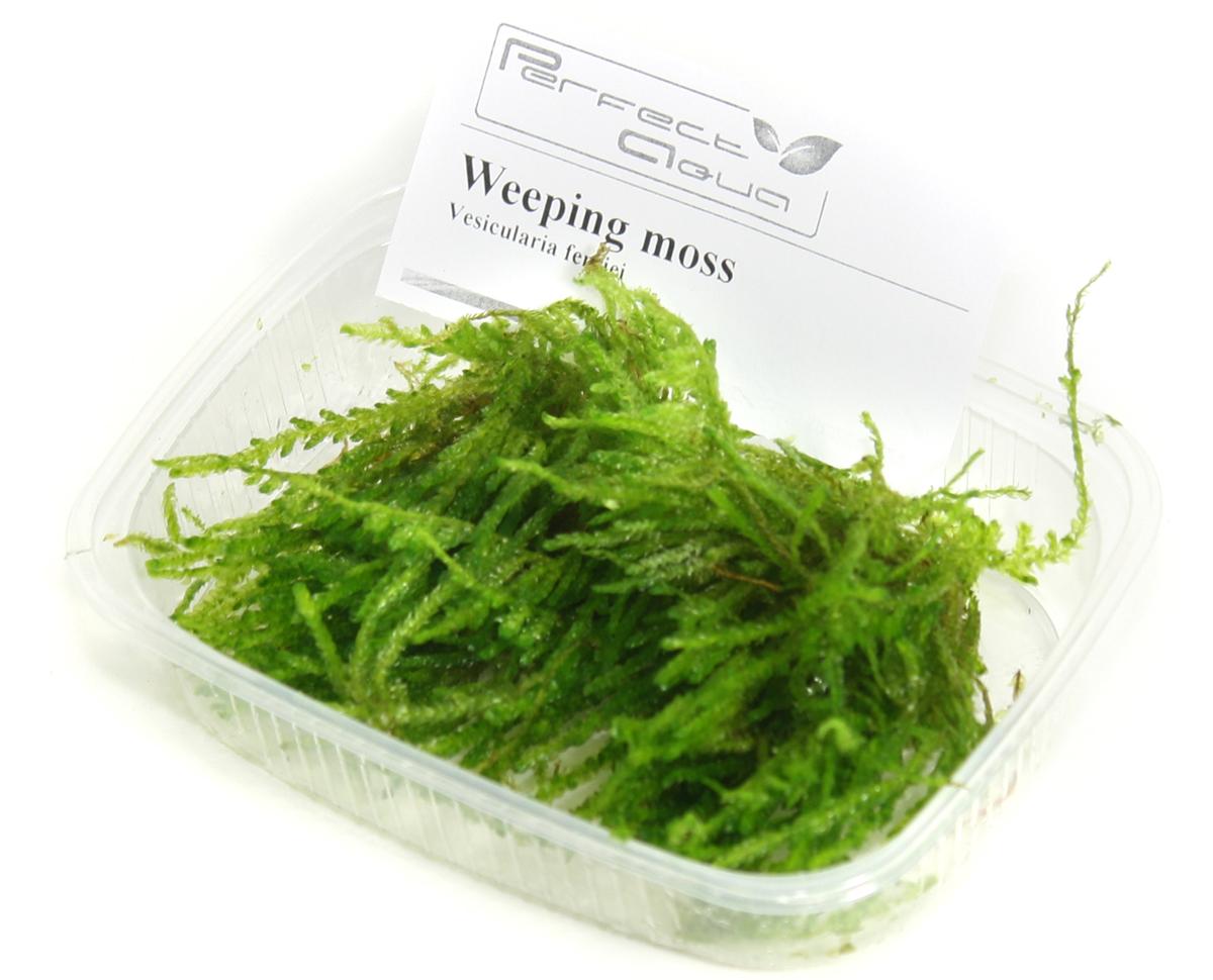 Weeping moss