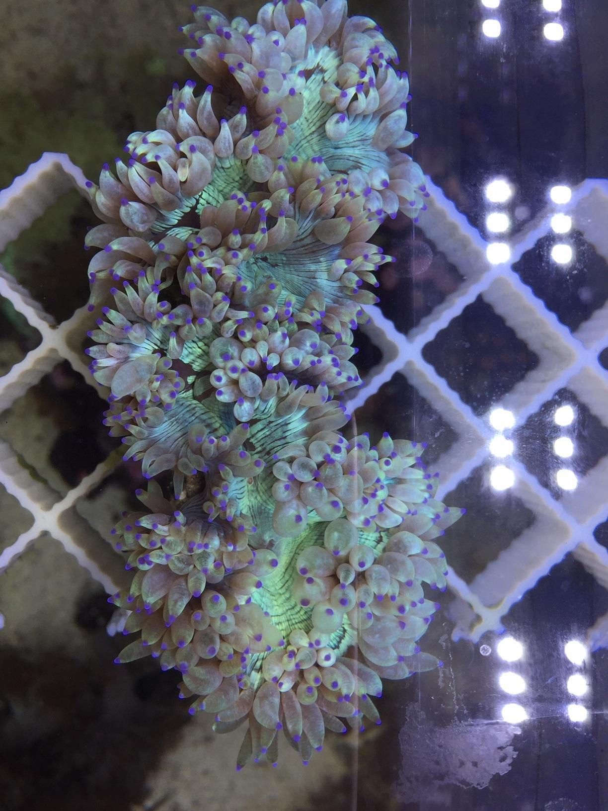 Catalophyllia jardinei b