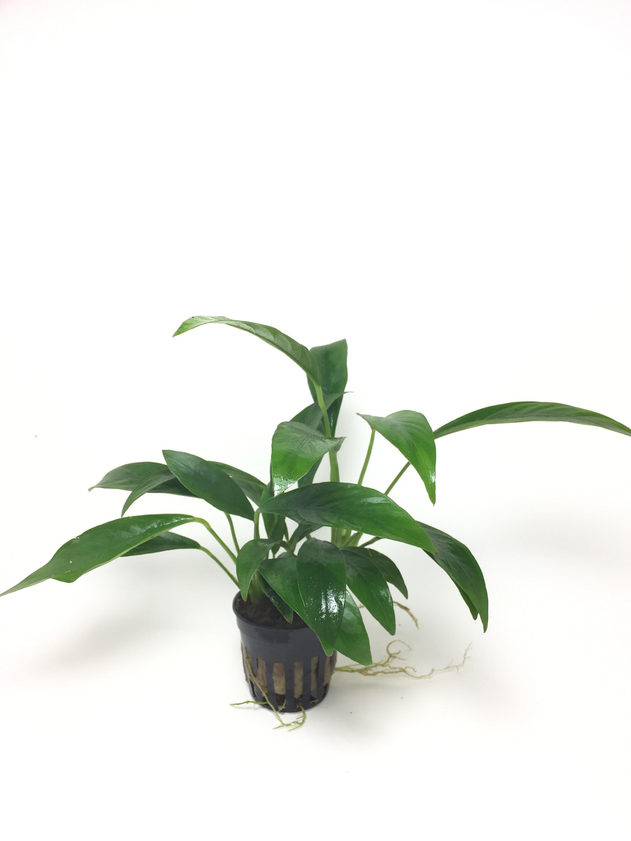 Anubias congoensis