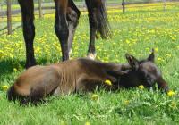 """Svarten"" e Santa Cruz-Rosire vilar i solen 2 dagar gammal."