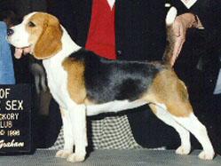 Klassisk trefarget beagle