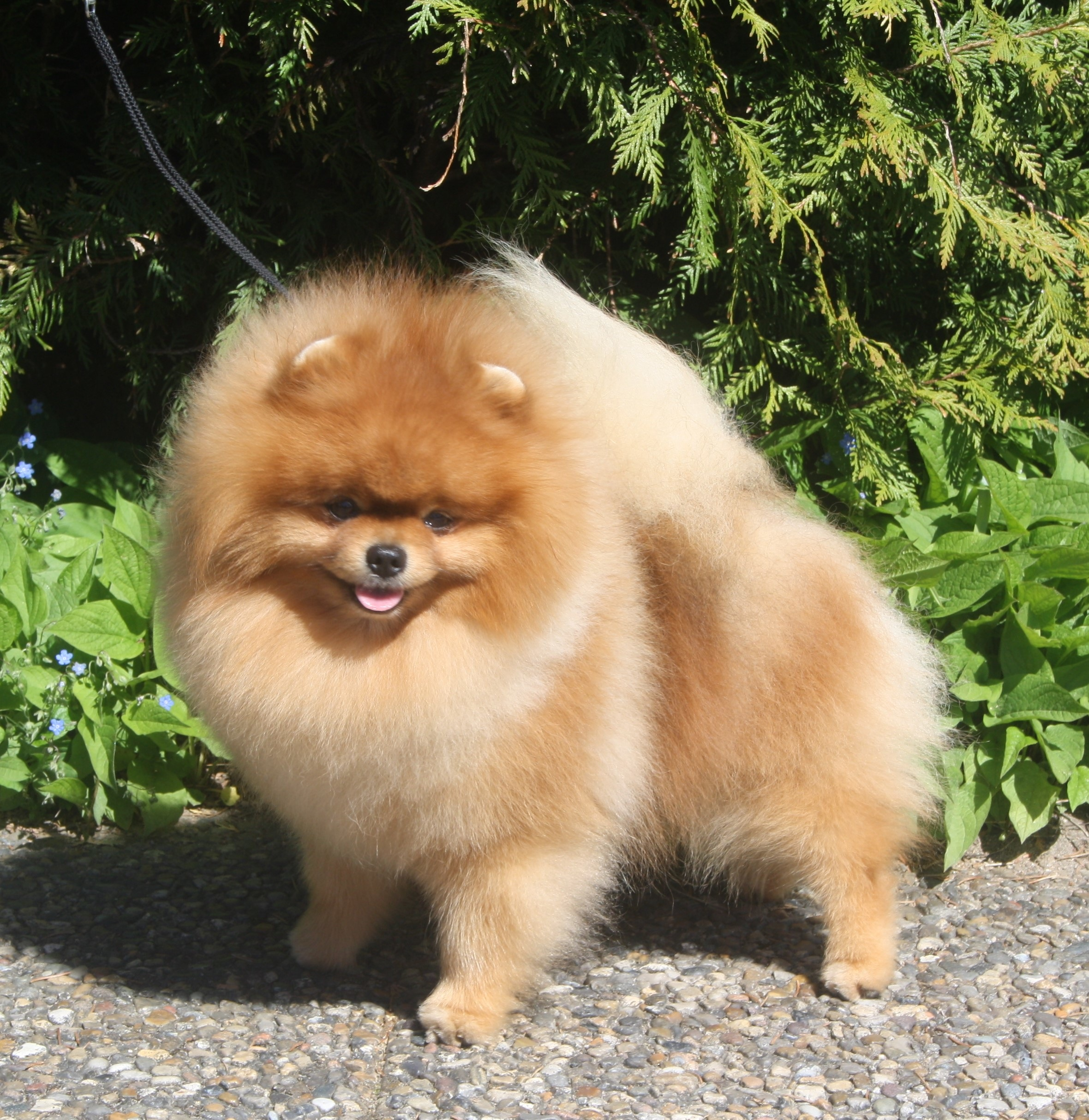 Cody   Black Orange's Show Pomeranian
